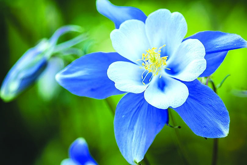 the colorado blues  colorado country life magazine, Beautiful flower