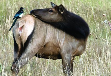 This black-billed magpie is canvassing the elk for wood ticks.