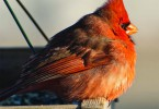 Male Northern Cardinal. Photo Courtesy of Kay Home Products