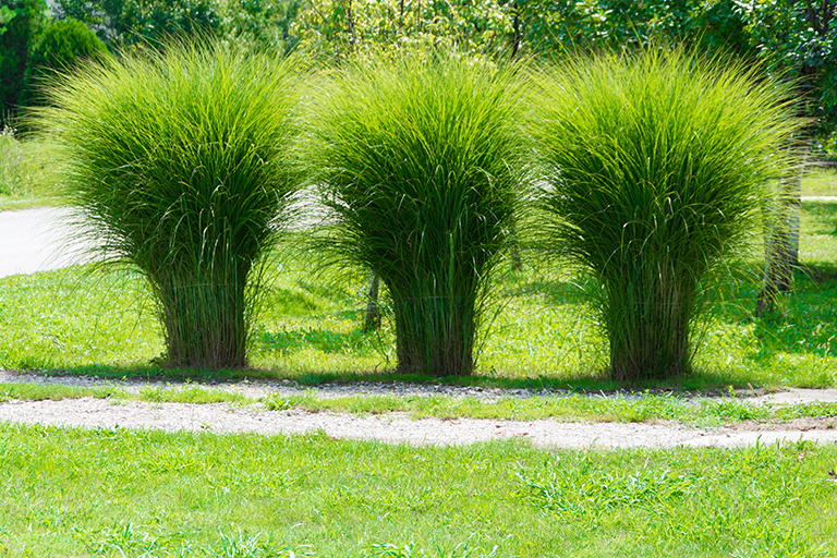 Plant ornamental grasses for oomph and texture colorado for Tall outdoor grasses