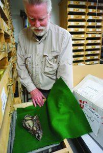 Mike Treibold shows off a rare Thescelosaur skull.