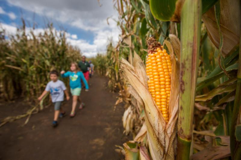 Corn Maze At Chatfield Farms Colorado Country Life Magazine