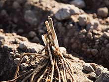 closeup of newly-planted asparagus