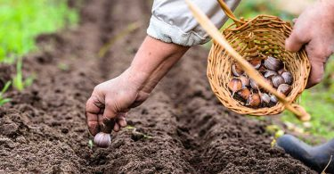 gardener planting garlic in large garden