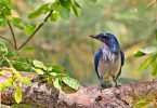 blue and white Scrub Jay bird