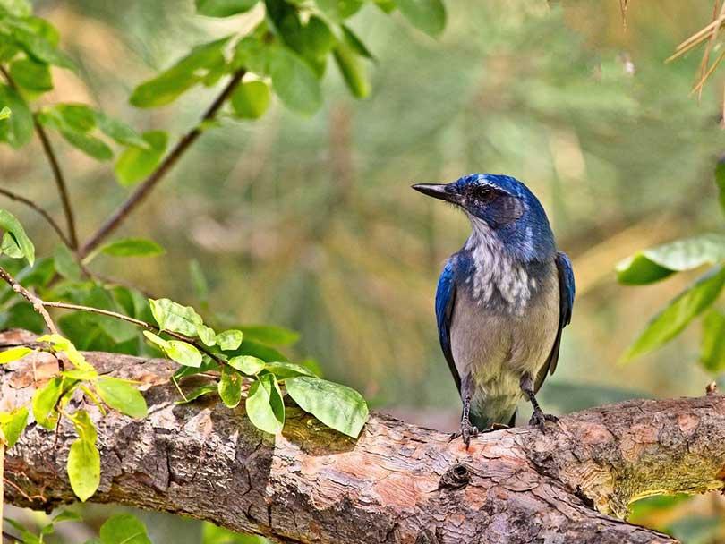 blue and white Scrub Jay bird