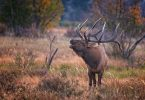 elk bugling in the forest
