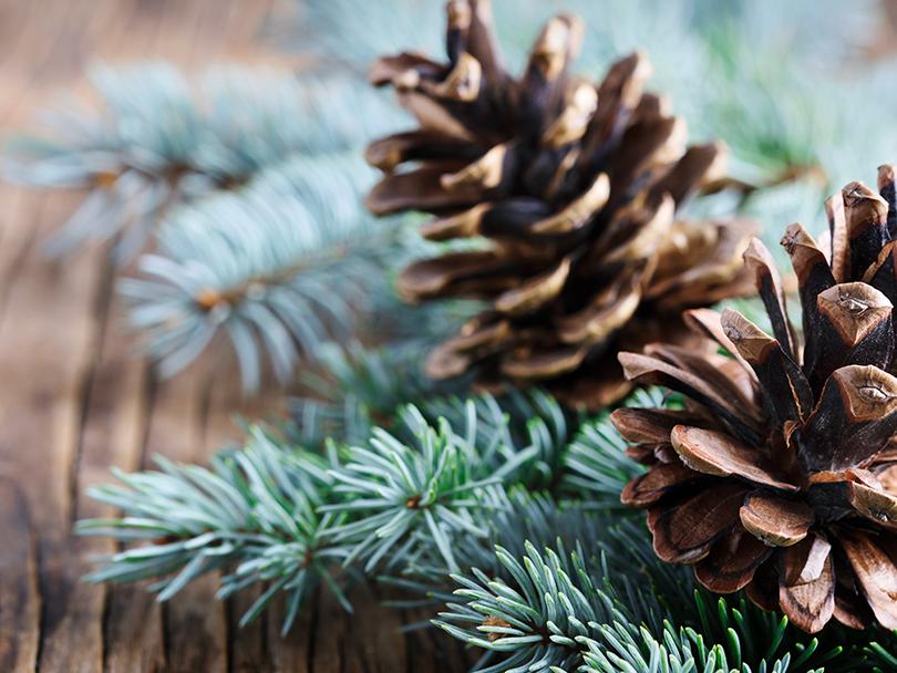 closeup of pinecones