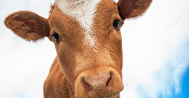 Close up of a cow looking into the camera lens