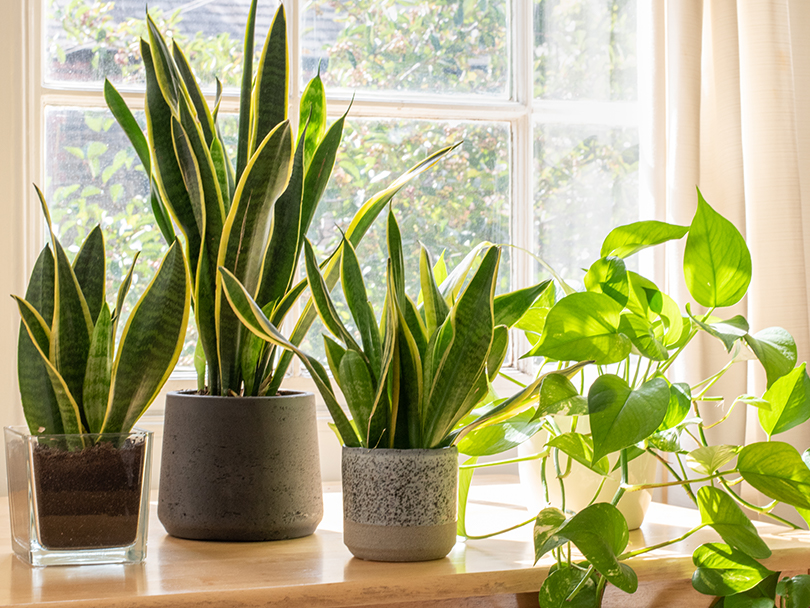 Three snake plants on a windowsill